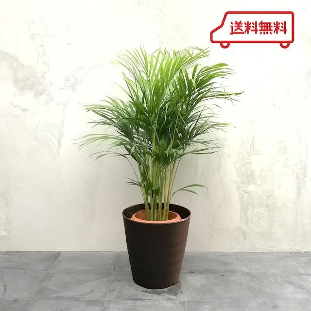 【送料無料】観葉植物 アレカヤシ 中鉢 フレグラーポット付き