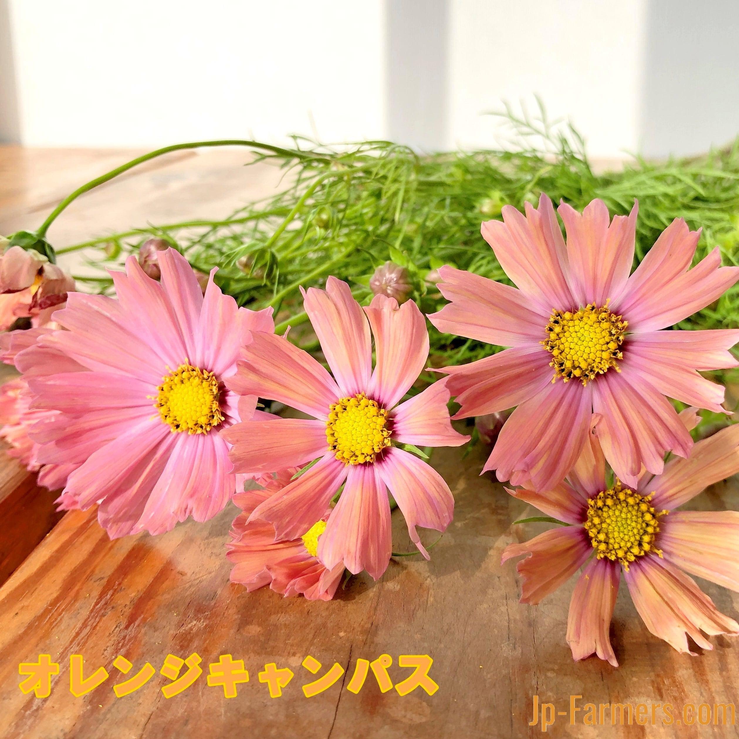 季節限定!秋の花はやっぱり秋桜(コスモス)!色々な品種から選べます 20本