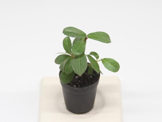 コケモモイタビ《苔テラリウム・コケリウム用観葉植物》