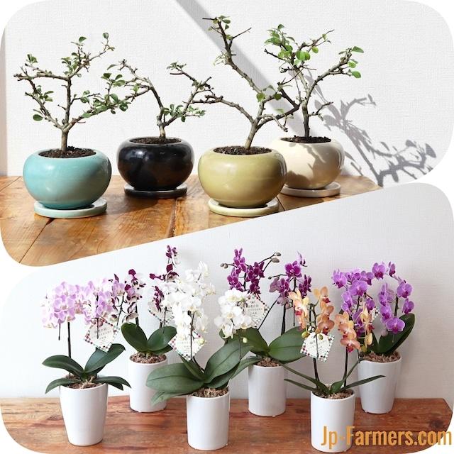 9月20日は敬老の日 長寿梅盆栽&胡蝶蘭 次のお花を咲かせる楽しみをセットで!