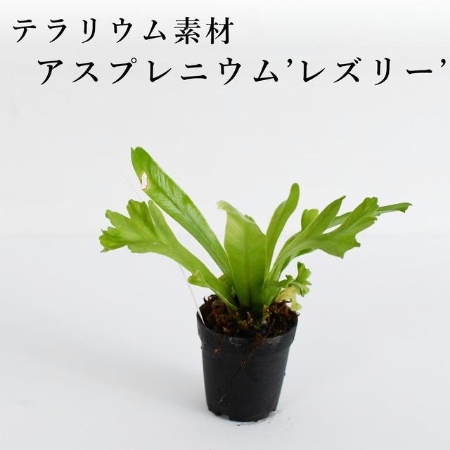 アスプレニウム'レズリー'(シダ植物) 苔テラリウム作製用素材