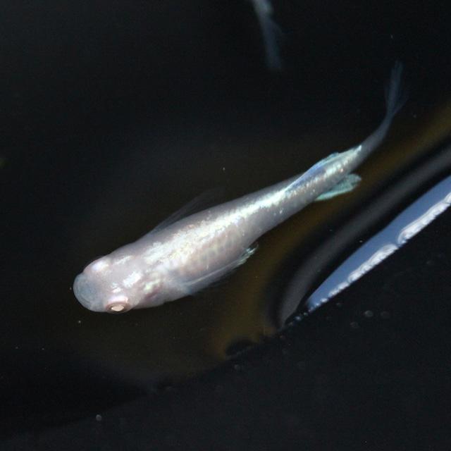 龍の瞳ヒカリ体型 1ペア(Lサイズ)
