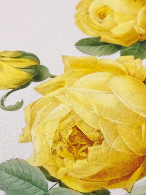 Nova-GRAPH  黄色いバラ