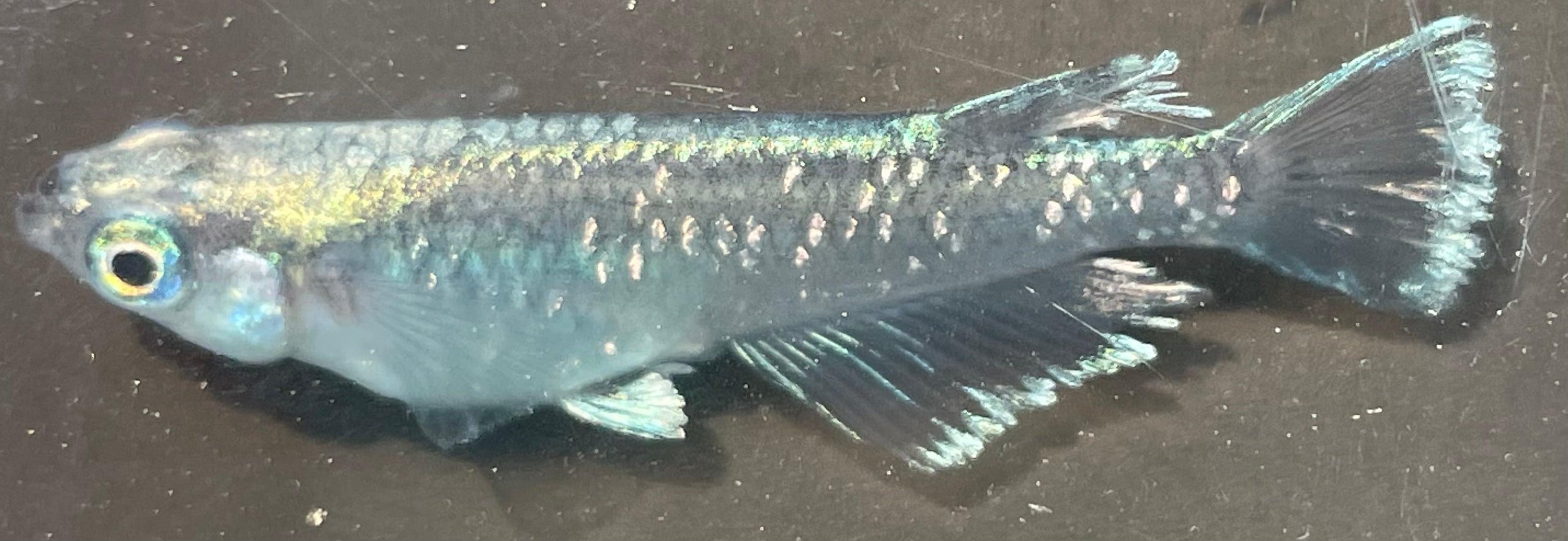 現物 ブラックモルフォ亜種 1ペア