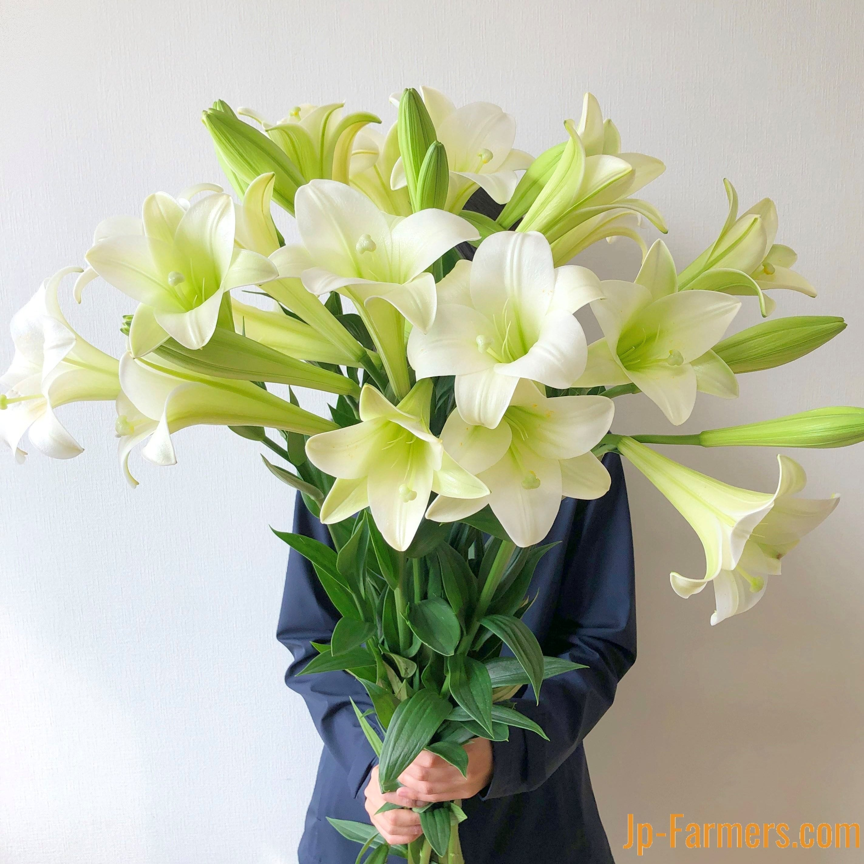 神戸育ちの優雅な白ユリ「神戸リリィ」 兵庫六甲農協の新鉄砲ユリ 10本