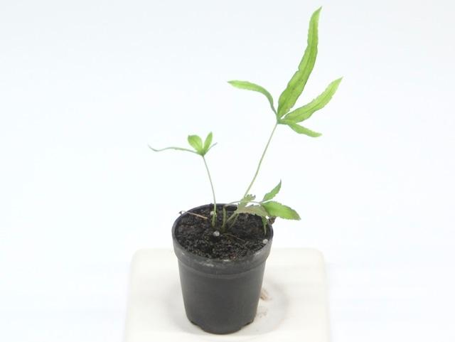 プテリス ムルチフィダ《苔テラリウム・コケリウム用観葉植物》