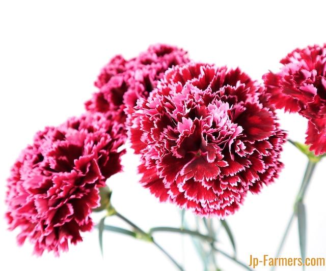 母の月特集! 母の月 カーネーション 『ノビオパレット』(濃赤×赤紫)