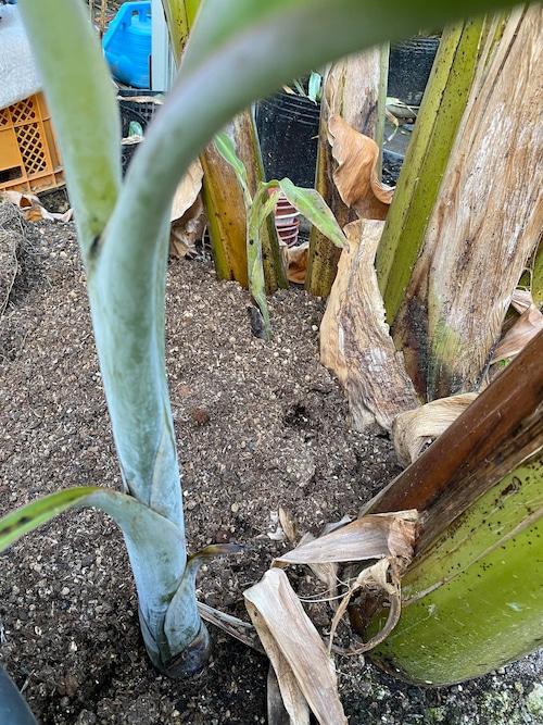 アイスクリーム バナナ 熱帯果樹苗(耐寒性バナナ)