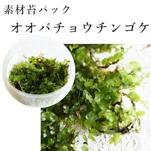 オオバチョウチンゴケ 苔テラリウム作製用素材苔