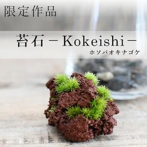 【現物販売】着生苔石ホソバオキナゴケ 11.3#4◆栽培容器付