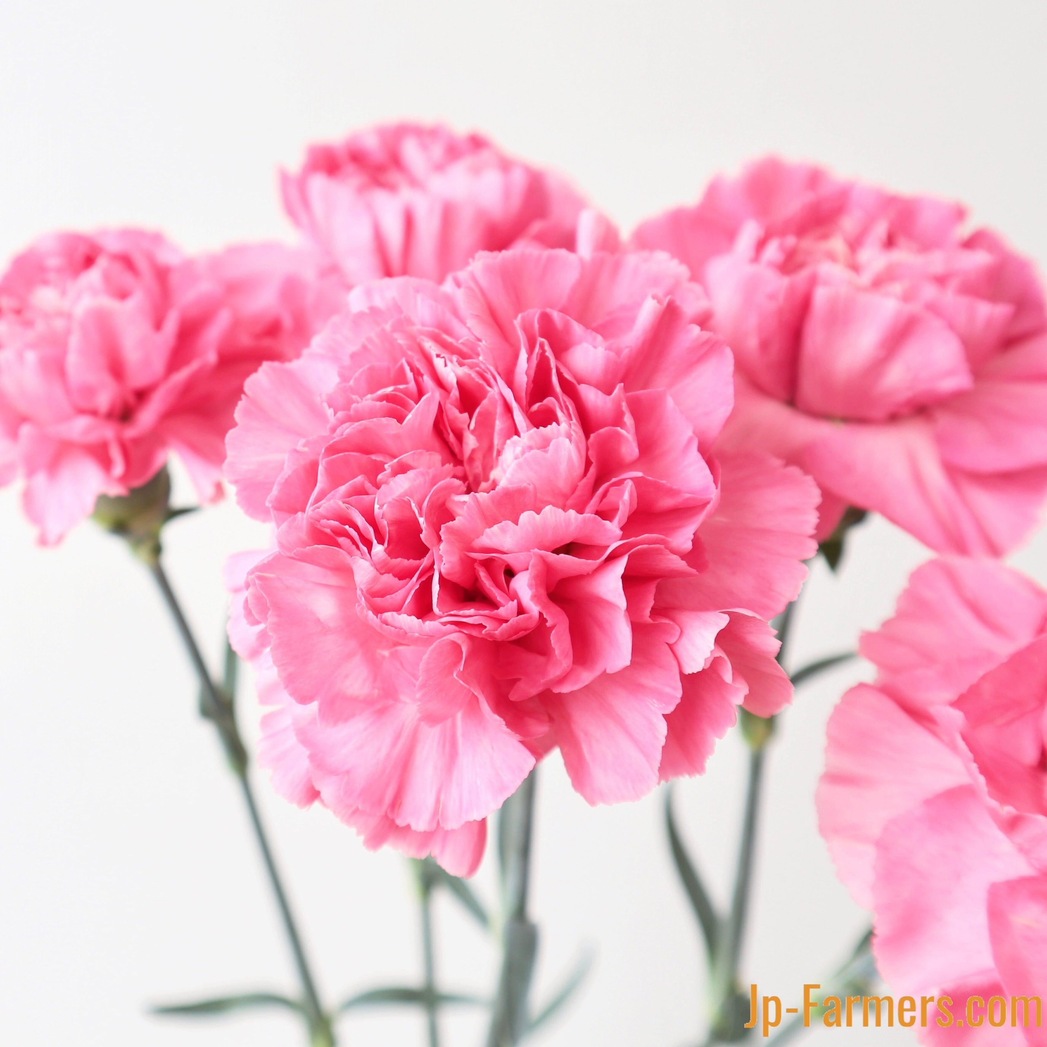 真鍋農園 カーネーション『フェミニンミナミ』優しいピンク