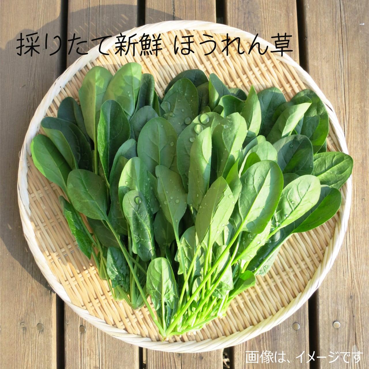 新鮮な秋野菜 : ホウレンソウ 約400g 11月の朝採り直売野菜 11月7日発送予定
