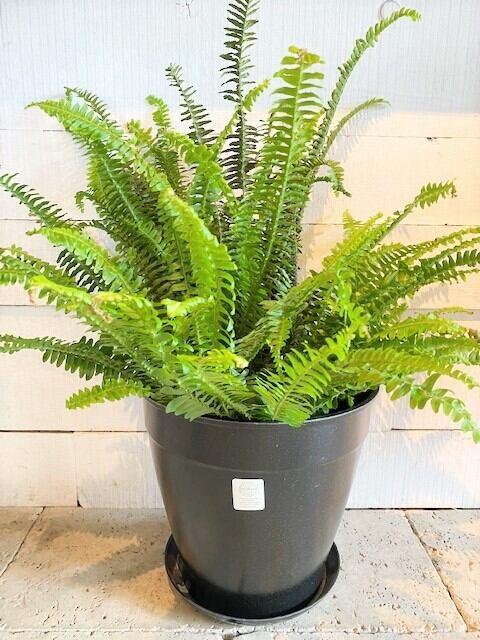 タマシダ ecoforms鉢カバー付き ※7号鉢サイズ
