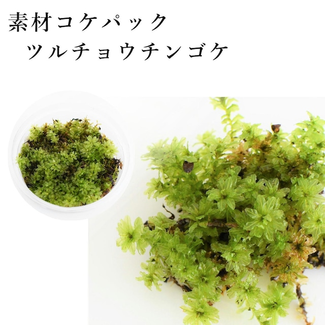 ツルチョウチンゴケ 苔テラリウム作製用素材苔