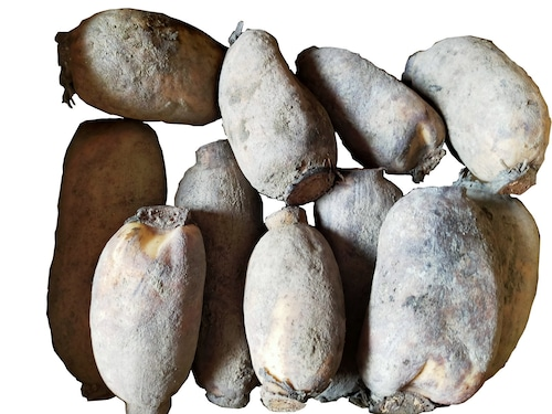 岩国れんこん2キロ(白花種)【産地直送】 手掘り土付き(2Kg)
