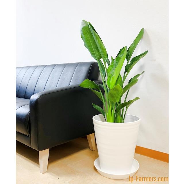 スタイリッシュな観葉植物 ストレチア・レギネ 8号 2色選べる鉢カバー付き