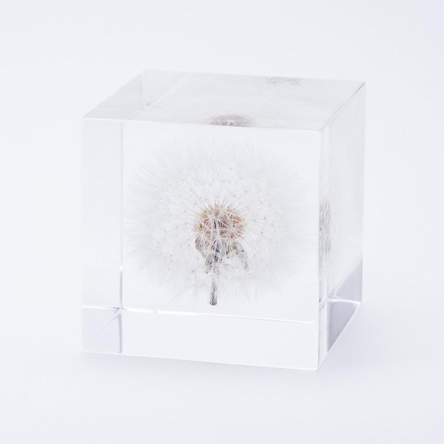 タンポポ(5cm角)[solacube]