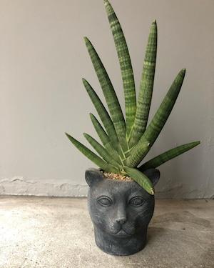 黒猫サンセベリア ボンセレンシス