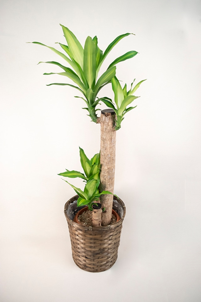ドラセナ・マッサンゲアナ(幸福の木) 中鉢サイズ【観葉植物】