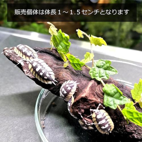 【15匹セット】エキスパンサスフチゾリオオワラジムシ Porcellio expansus【送料無料】