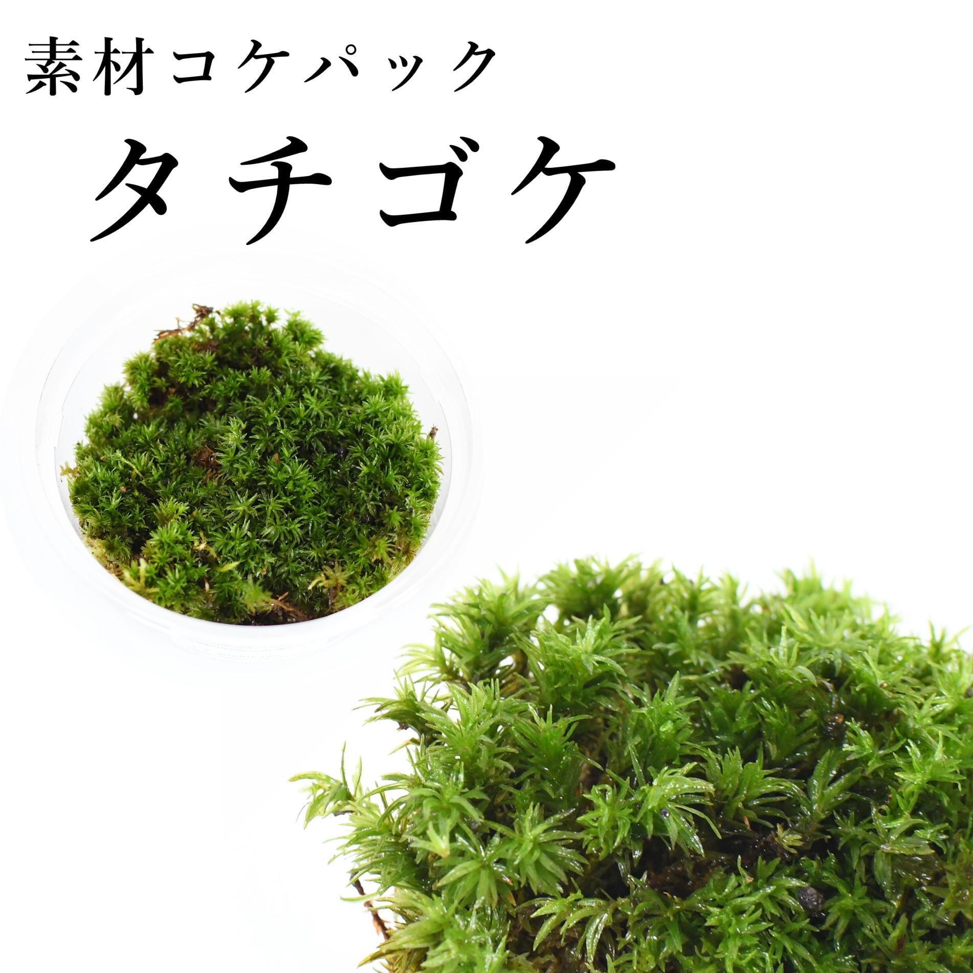 タチゴケ 苔テラリウム作製用素材苔
