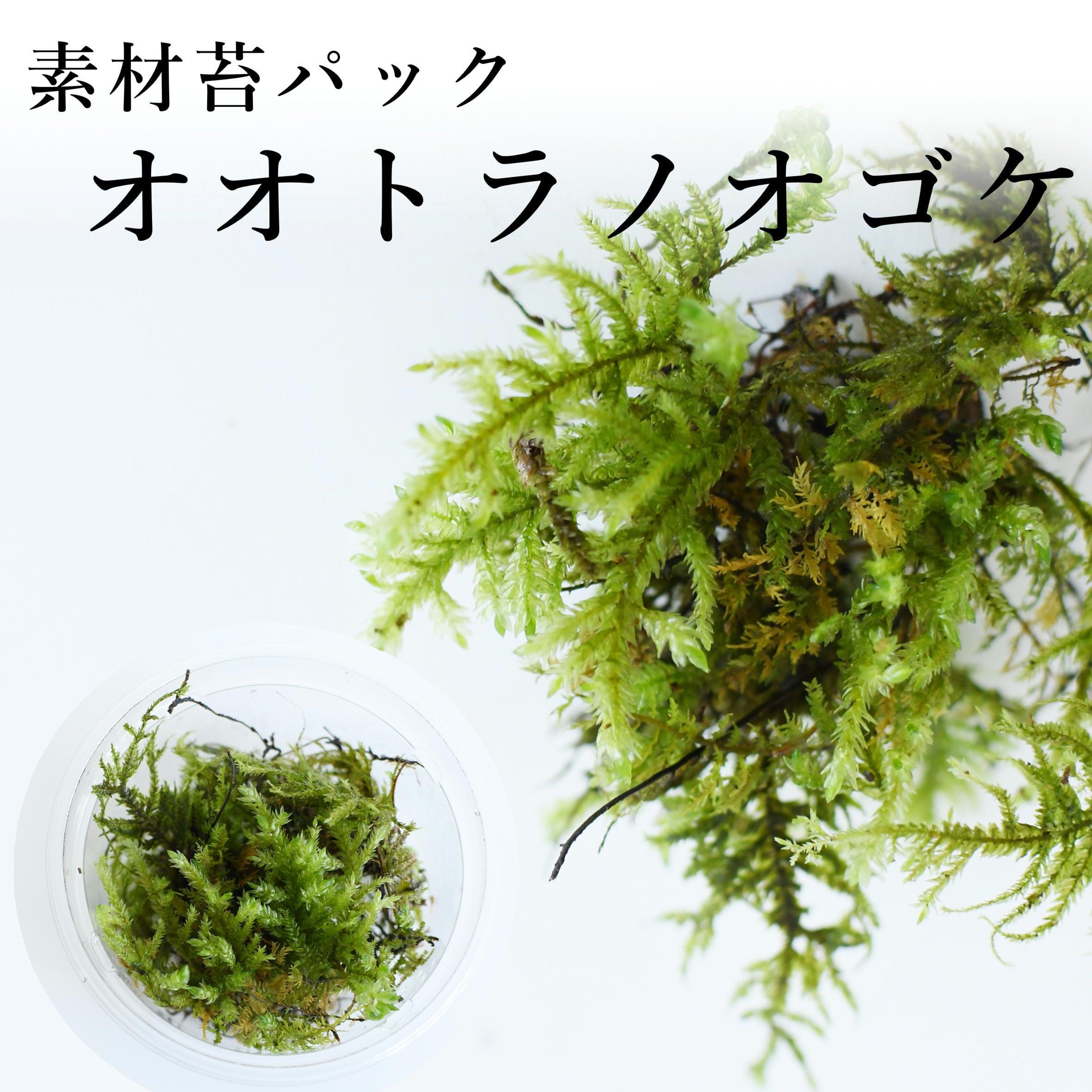 オオトラノオゴケ 苔テラリウム作製用素材苔