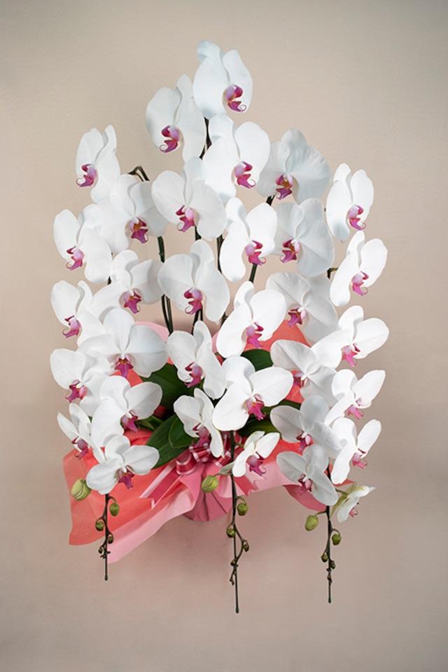 胡蝶蘭 セミアルバ 3本立 3Lサイズ