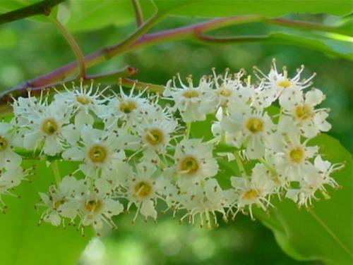 ローレル <月桂樹>     (fh-s025)