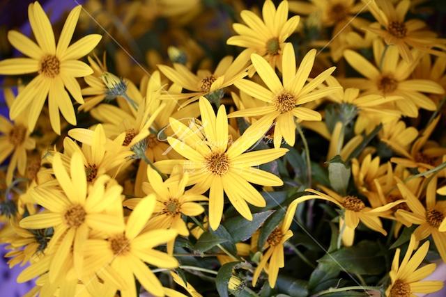 140 菊芋の花「食用花」