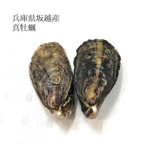 殻付き真牡蠣 兵庫県坂越産 10個 シングルシード製法 生食用【坂越産真牡蠣x10個】冷蔵 豊洲直送