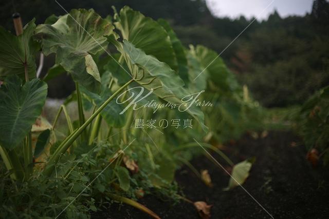 332 夜が近づく里芋畑