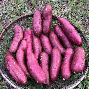 自然栽培 ねっとり甘い!「紅はるか」!【Lサイズ5kg】(250~350g/本)【無農薬、無施肥の自然栽培】さつまいも