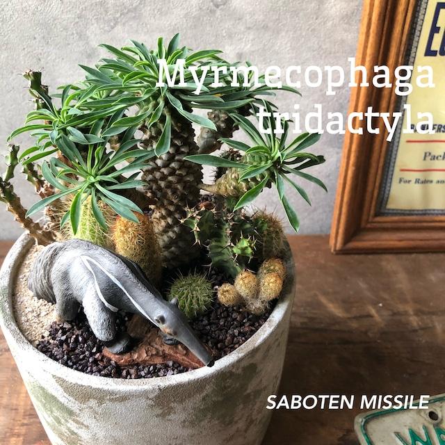 Myrmecophaga tridactyla オオアリクイ