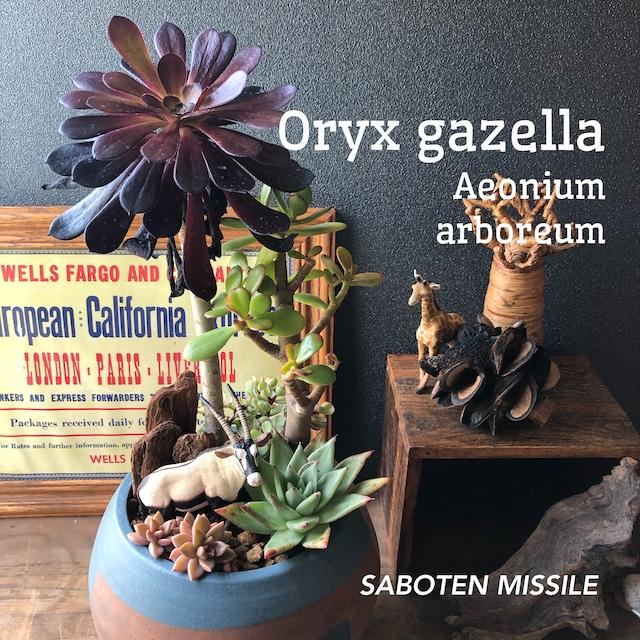 Oryx gazella&Aeonium arboreum オリックス&黒法師