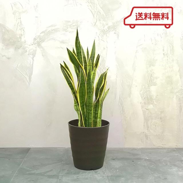 【送料無料】観葉植物 サンスベリア 中鉢  フレグラーポット付き