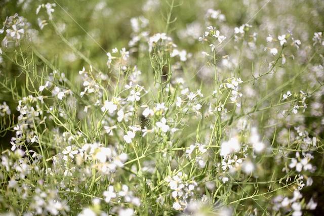174 大根の花と種鞘
