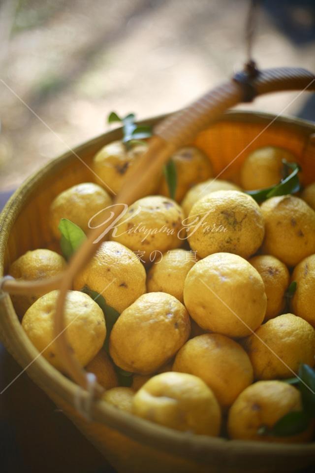 334 柚の収穫