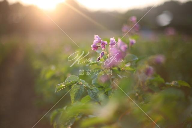 304 ジャガイモの花「鑑賞花」