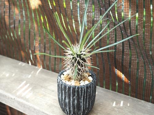 パキポディウム・ゲアイ×黒縞鉢