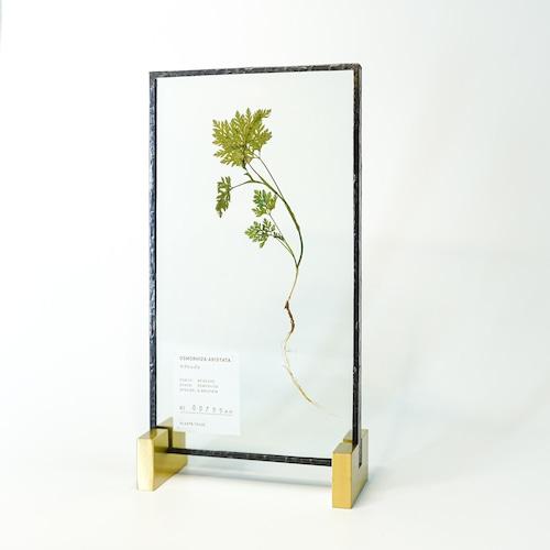 Osmorhiza Aristata ヤブニンジン