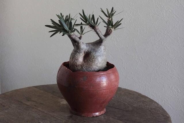 パキポディウム・グラキリス(Gracilius)…& Russian antique pot