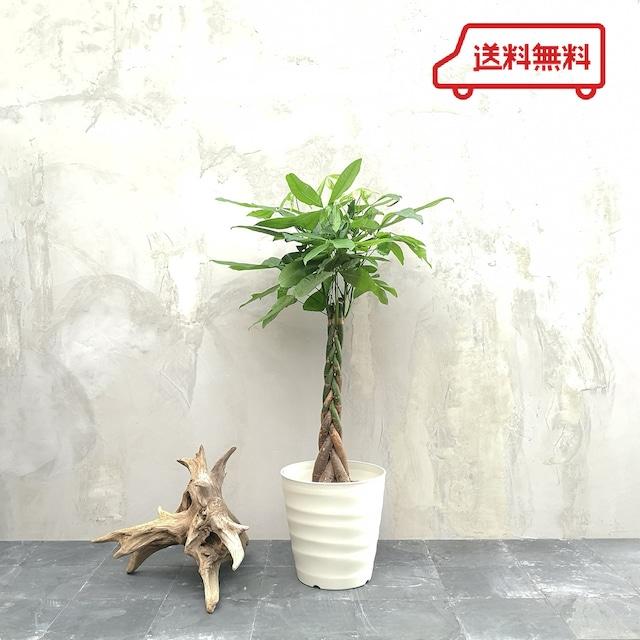 観葉植物 パキラ 8号 ねじり フレグラーポット付き