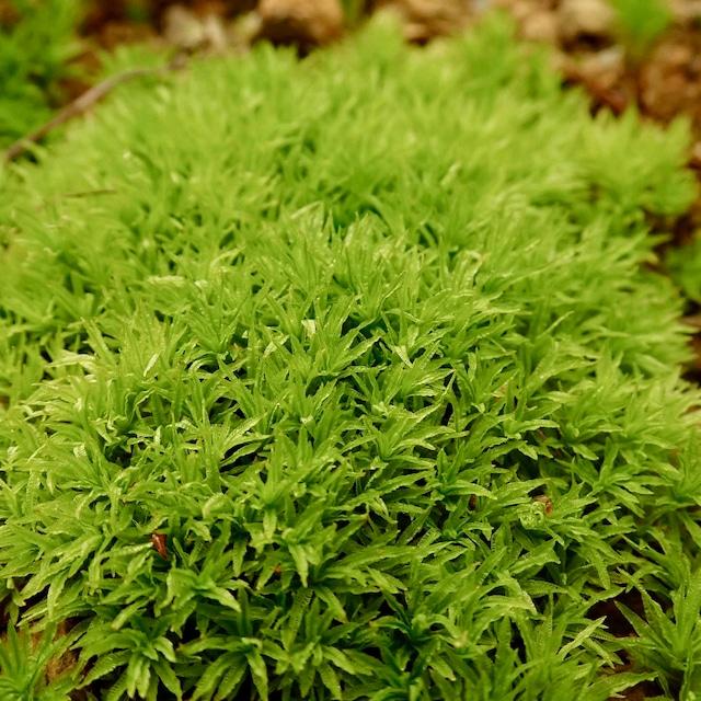 タチゴケ《苔テラリウム・コケリウム用生苔》