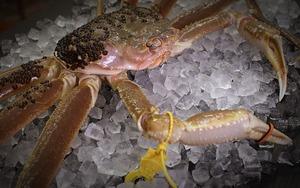 活 越前蟹1.1kg~1.2kg(3人前程度、送料込)