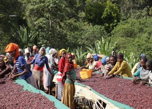 【500g】エチオピア イルガチェフ ウォルカ チェルベサ ~Ethiopia yirgacheffe worka chelbesa~