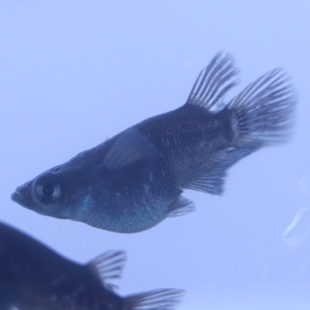 ブラックダイヤダルマ 成魚 1ペア