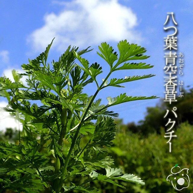八つ葉青空香草 パクチー 200g