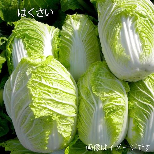 白菜 1玉 新潟の野菜 朝採り直売野菜 12月の新鮮な冬野菜  【キムチ用】【漬物】