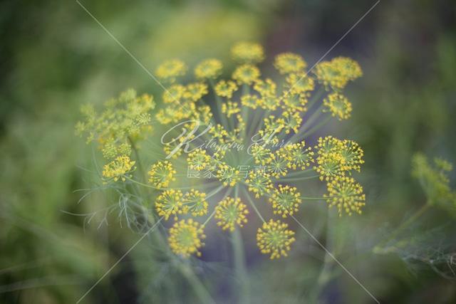 230 ディルの花