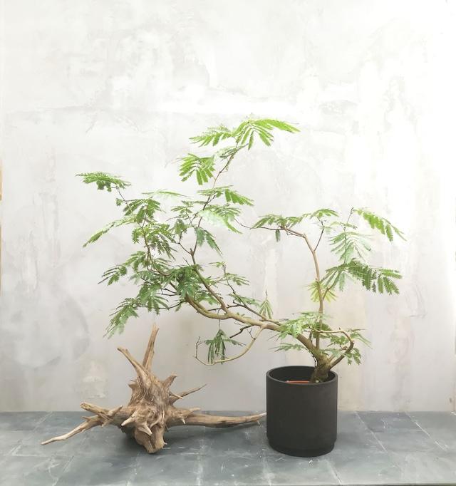 【現物一点物】観葉植物 エバーフレッシュ ・中型・※配送近隣限定